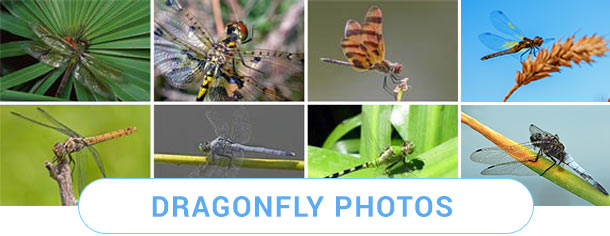 Dragonfly Photos