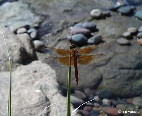 Dragonfly Articles