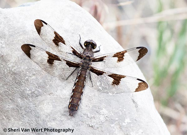Common Whitetail Dragonfly Print