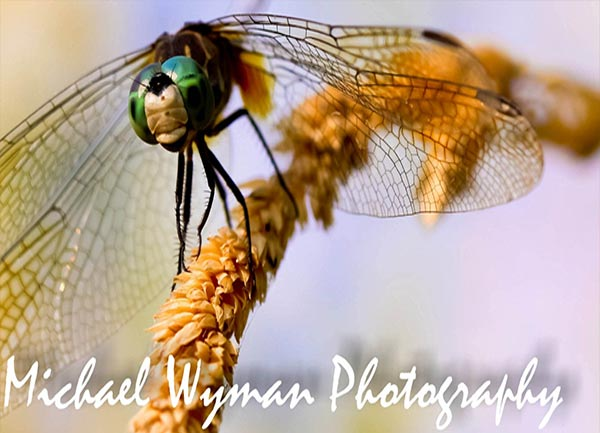 Dragonfly Photography for Sale