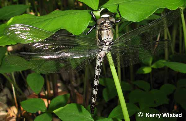 Petaltail Dragonfly Photos